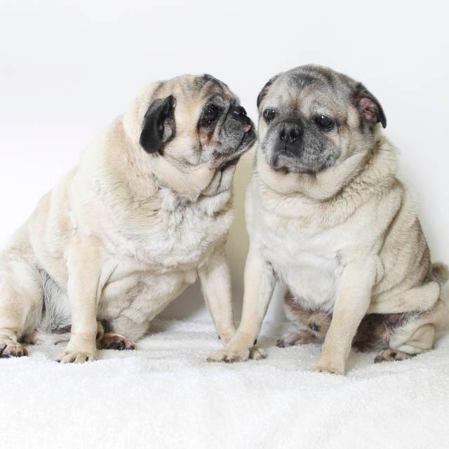 Available Pugs – Pug Nation